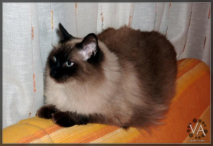 Chusky A Persian Siamese Blue Eyed Cat Chusky Un Gato
