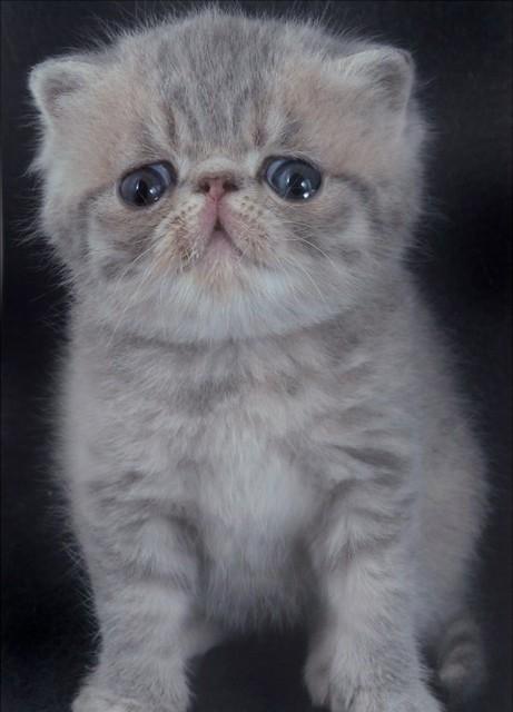 baby kitten blue cream tabby exotic shorthair kitten