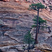 Zion Wall Trees