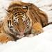 Amur Cub lunchtime