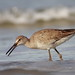 willet amongst the waves