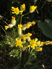 Bearded Hawksbeard