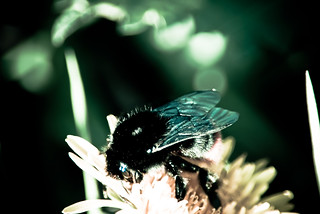 Bumbelbee my flower | by sweetron1982