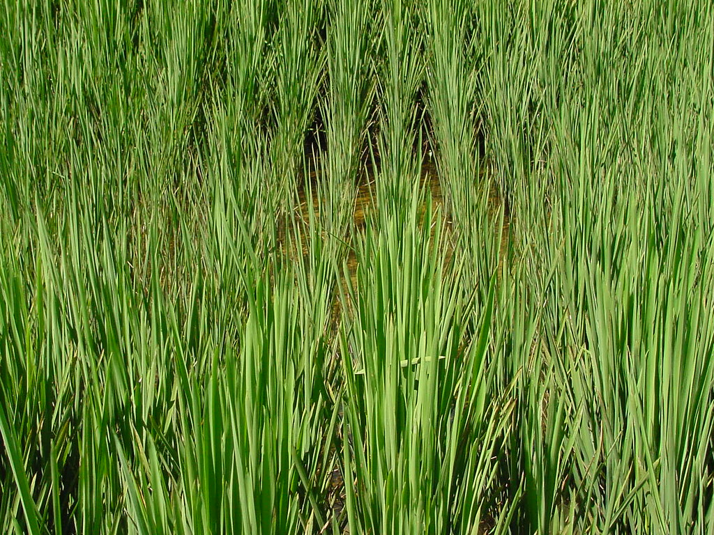 Arkansas >> Phosphorus Deficiency in Rice | Chuck Wilson | Flickr