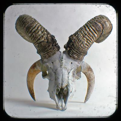 Jacob Sheep Skull