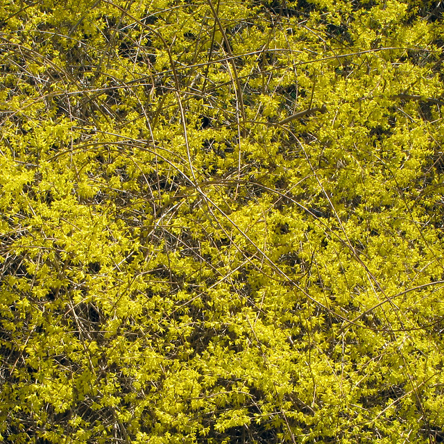 Forsythium Yellow | The forsythia bushes along my driveway ...