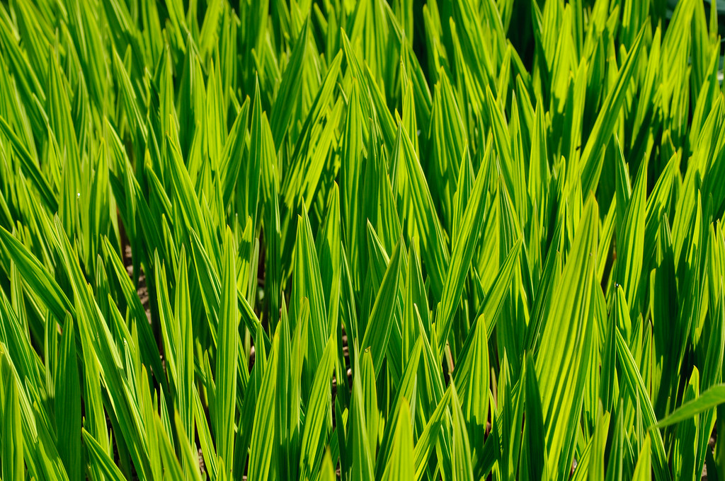 green green shoots growing in the kitchen gardens tatton flickr. Black Bedroom Furniture Sets. Home Design Ideas