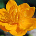 Trollius 'Golden Queen' SF Botanical Garden (05-10)