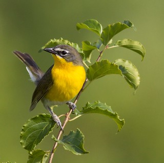 Yellow-breasted Chat | by arlenekoziol