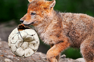 The wolf pup and his ball | by Tambako the Jaguar