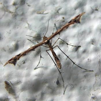 Amblyptilia acanthadactyla 4690283548_4e42c50718_o