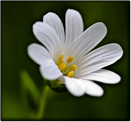 Greater Stitchwort | by Outlaw_Pete