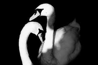 Pair of Swans | by Martin Mattocks (mjm383)
