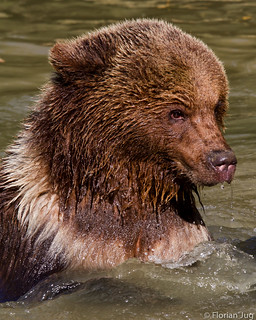 Brown Bear Having a Bath | by © ʝuɢ