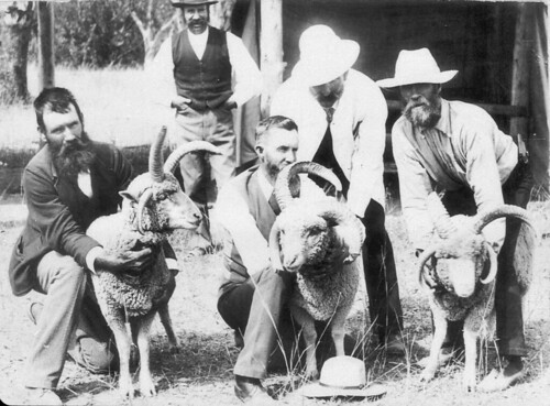 Freak sheep used by Donald Gunn at Boolarwell (60 mile west of Goondiwindi) - Goondiwindi, QLD, c. 1900, by D.M. Cameron | by State Library of New South Wales collection