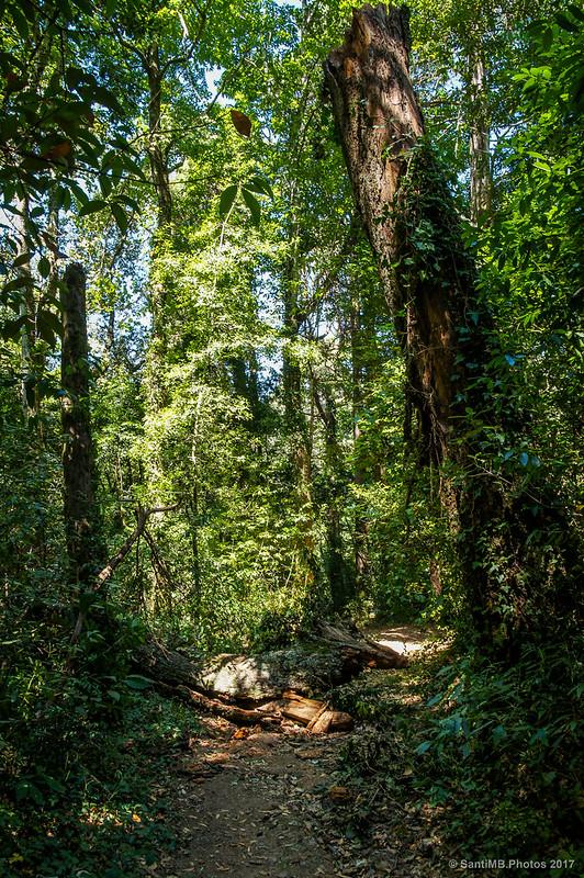 Árbol partido por el ciclón del 2013 en Buçaco