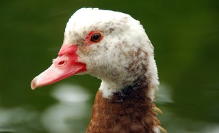 Muscovy Duck - immature | by Lorcan Keating