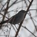 Gray Catbird 28 Feb 2010 NY