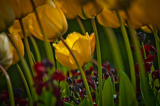 Feathered Tulip | by Zimmergimmer