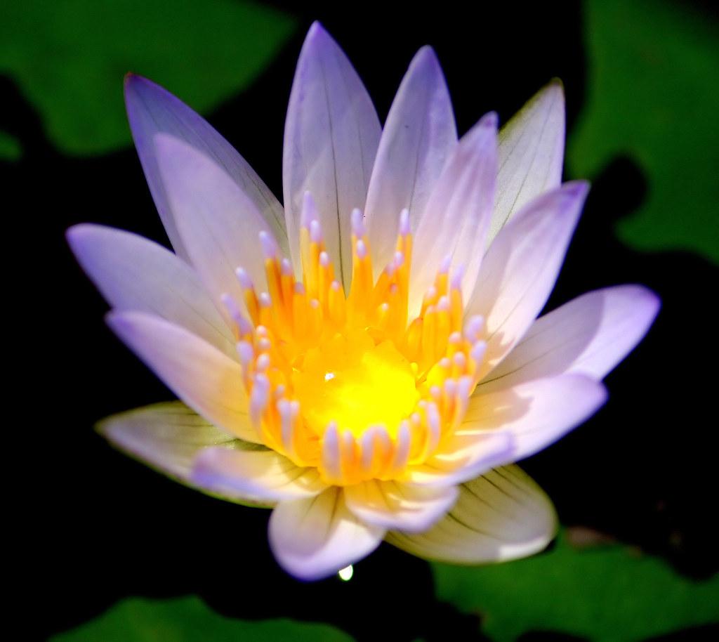 Thai lotus flower thailand kanchanaburi michel van der linde thai lotus flower by thai pix wildlife photography izmirmasajfo