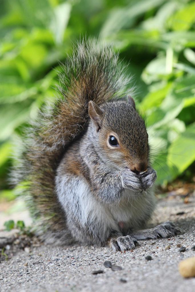 Baby Gray Squirrel Food