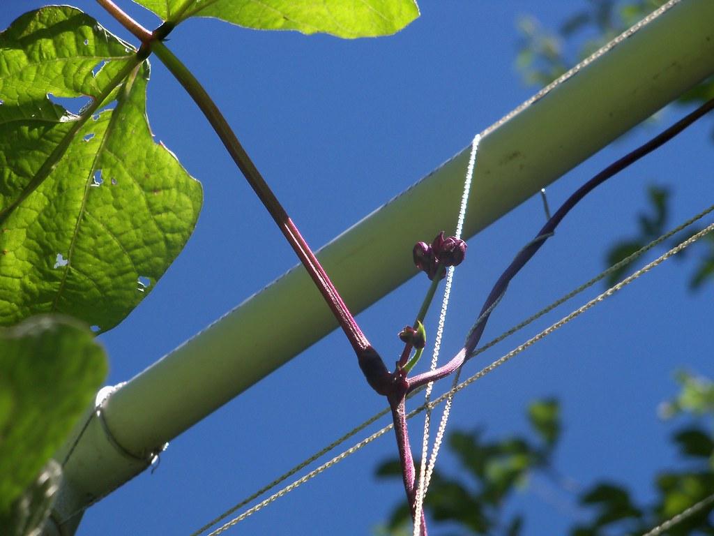 Purple Bean John Deeth Flickr Spring Wiring By Johndeeth