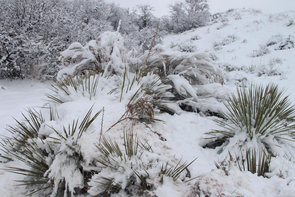 Desert plants in snow   skron   Flickr Cold Desert Biome Plants