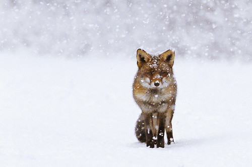 Fox in the Snow | by Roeselien Raimond