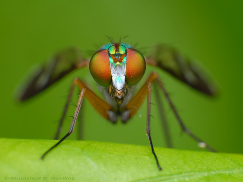 Long-legged fly | by Rundstedt B. Rovillos