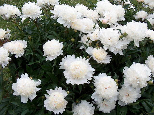 White Peony Bush A Stunning Display Of White Peonies In