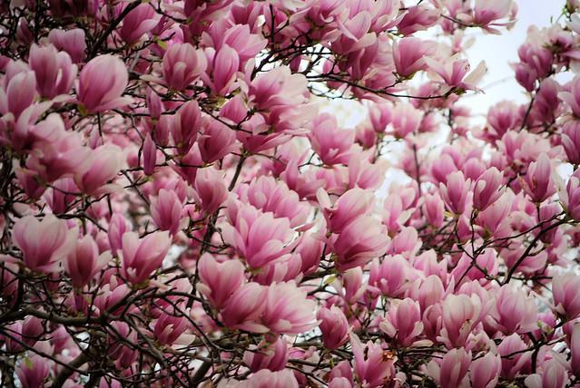 Magnolia Tulip Tree Flickr Photo Sharing