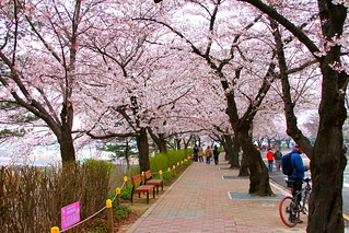 2010 Hangang Yeouido Spring Flower Festival | by rbitting