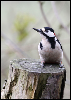 Great Spotted Woodpecker | by LJWDevon