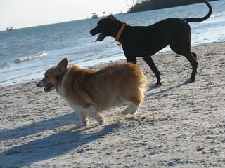 Rescue Dogs Corgi Mix