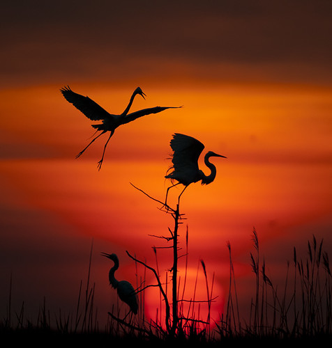 Spotlight on Egrets | by Tony Pratt DE Photographer