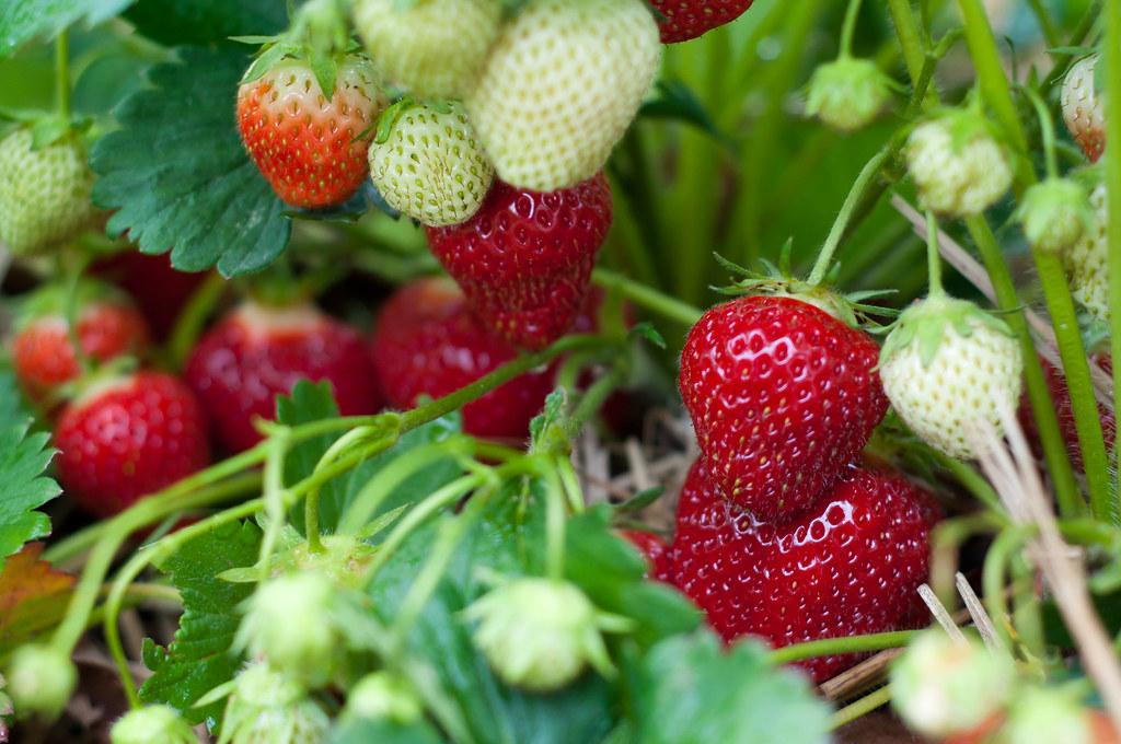 Wo Wachsen Erdbeeren