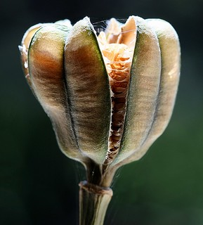 fritillary seed pod | by vernon.hyde