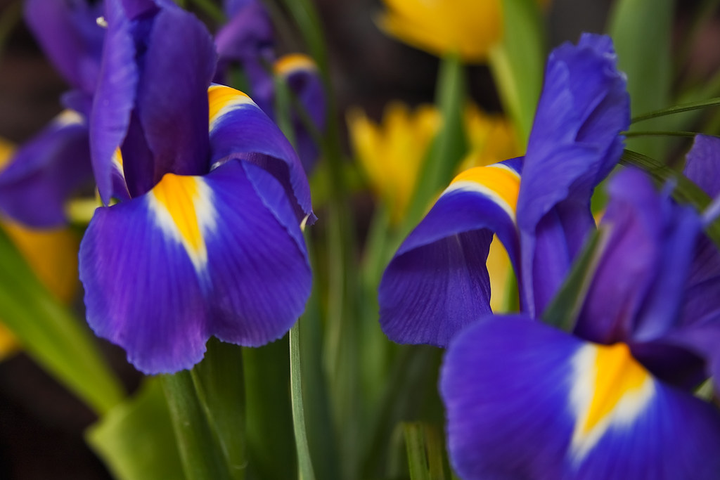 Two large English Iris flowers with tulips in the backgrou ...