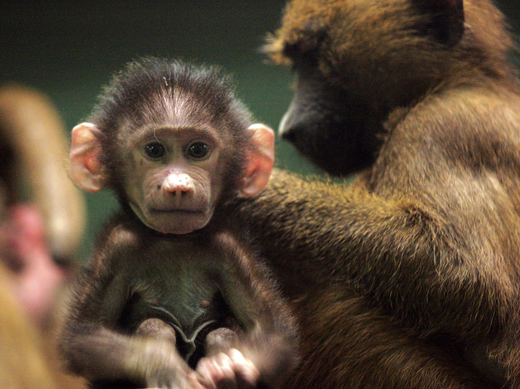 Guinea Baboon Infant Best Large All Of The Primate