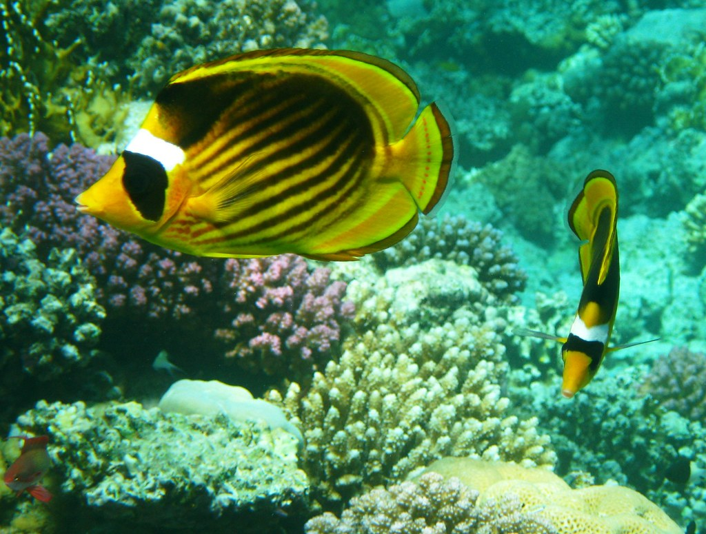 Info on striped butterfly fish opinion you