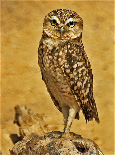 Burrowing Owl | by Foto Martien