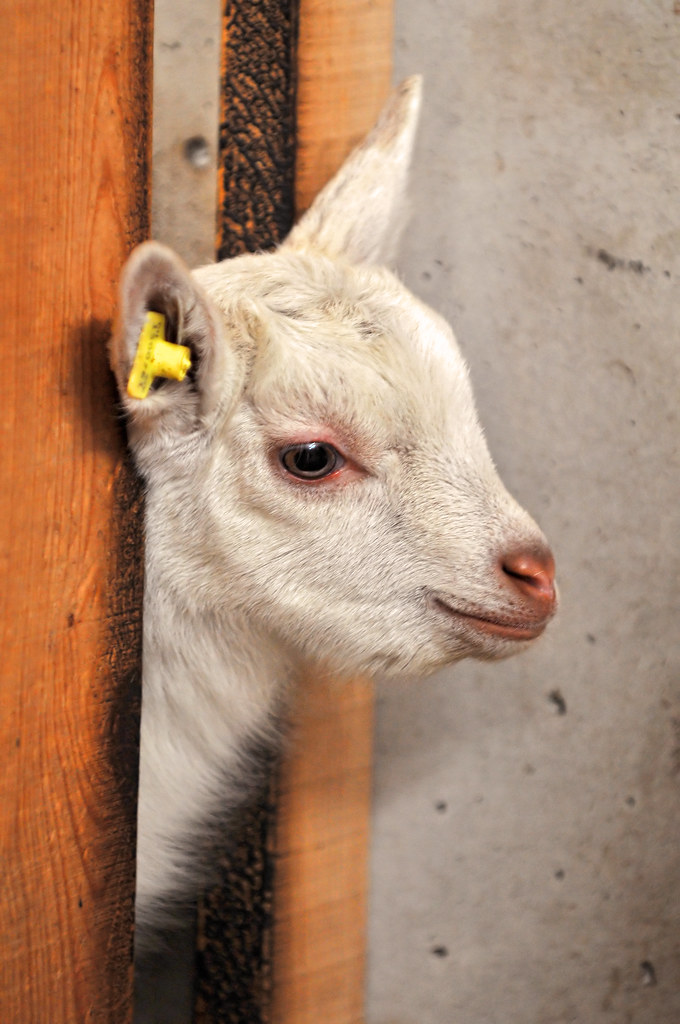 R Goats Baby goat | Last weeke...