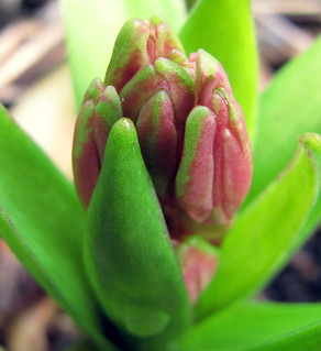 little hyacinth..coming out | by petraverschuuren
