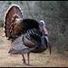 Wild Turkey   IMG_7129edttpz