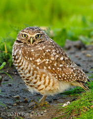 Western Burrowing Owl | by Pat Ulrich