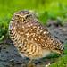 Western Burrowing Owl