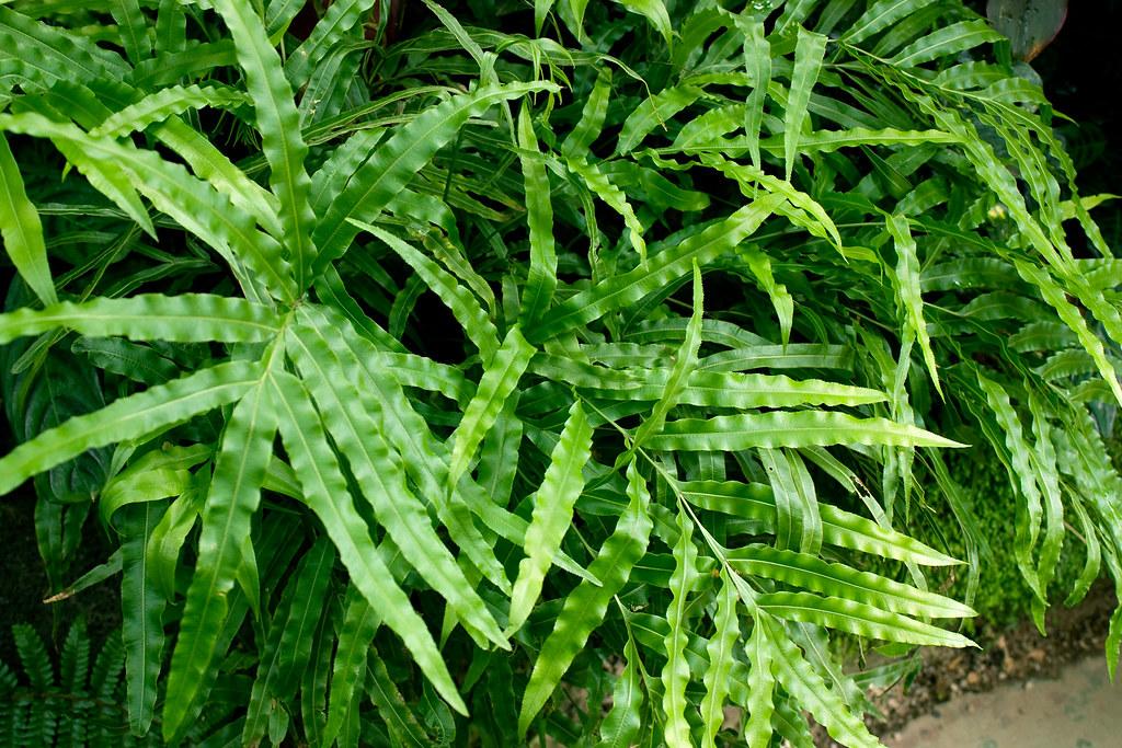 Fougère Pteris Cretica : cretan brake fern pteris cretica in fitzroy gardens cons flickr ~ Melissatoandfro.com Idées de Décoration