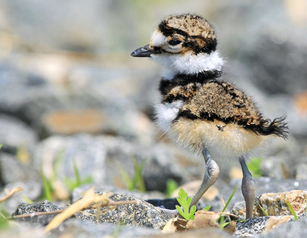 Killdeer Chick One day old