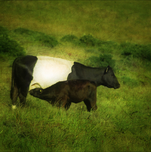 oreo cow | by mm.jane
