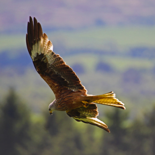 Red Kite | by Ian Lambert